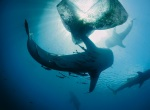 01-whale-sharks-near-fishing-nets-670